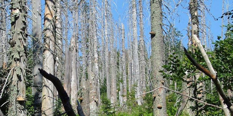 Von Schädlingen befallene und abgestorbene Nadelbäume.