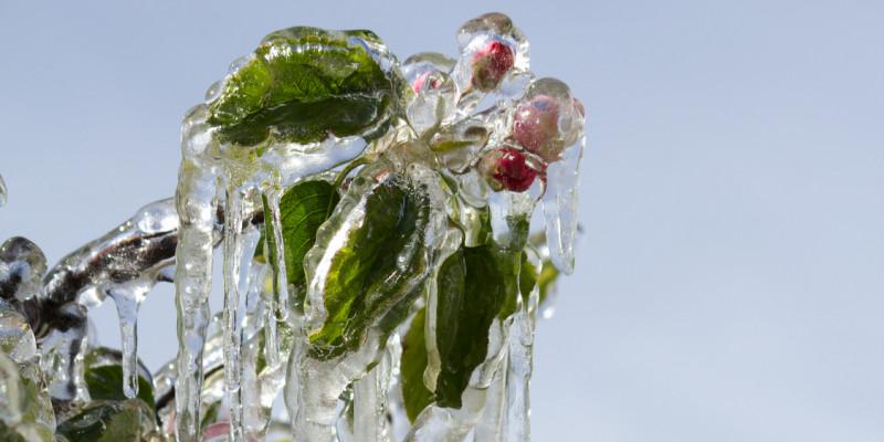 Apfelblüte von dickem Eis umgeben.