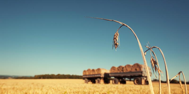 Kornähren vor abgeernteten Getreidefeld, im Hintergrund Strohballen auf Anhängern.