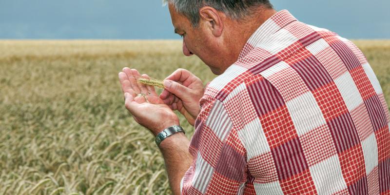 Rückenansicht eines Mannes vor Kornfeld, der Ähre in seiner Handfläche untersucht.