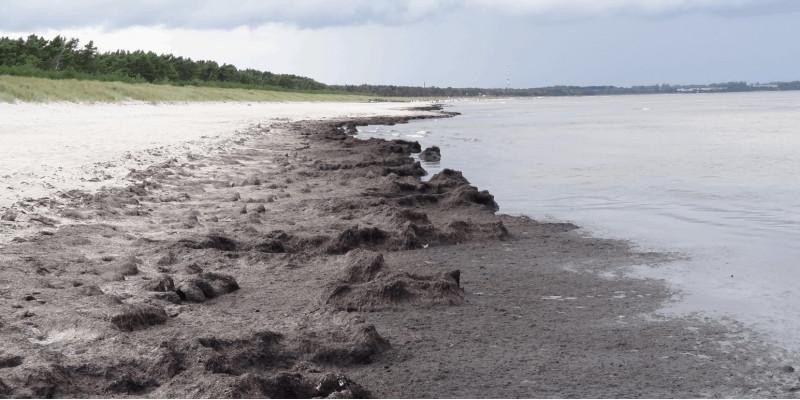 Das Foto zeigt Algenmatten am Strand von Glowe auf Rügen.