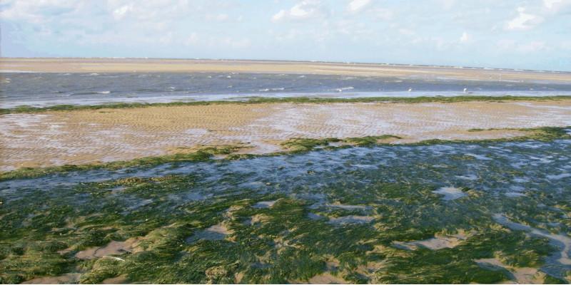 Die Abbildung zeigt Grünalgen auf Wattflächen auf der Nordseeinsel Spiekeroog.