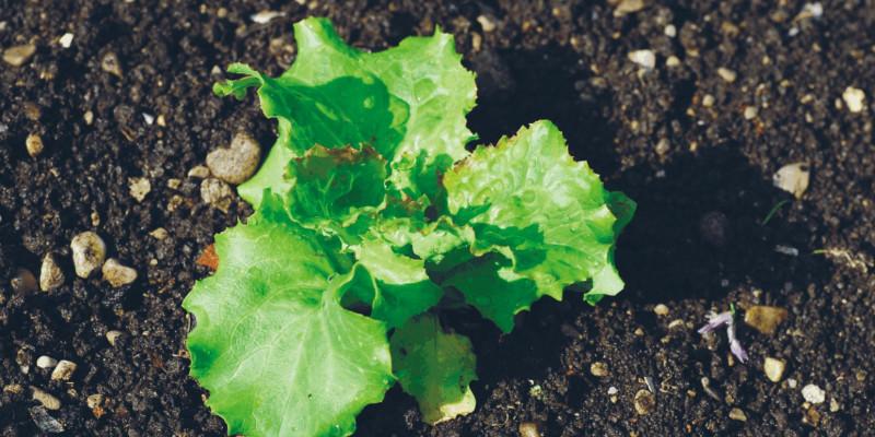 Das Bild zeigt grüne Blätter die aus dem Boden sprießen