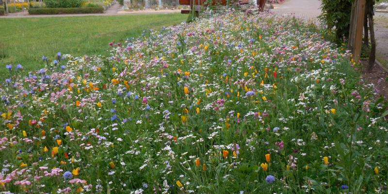 Blühende Blumenwiese auf dem Gelände der Universität Göttingen