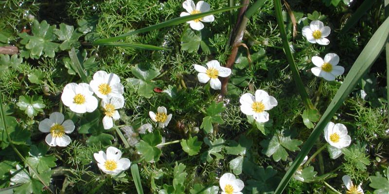 Die Blume Hahnenfuße mit ihren weißen Blüten und großen gelben Stempeln in der Mitte der Blüte