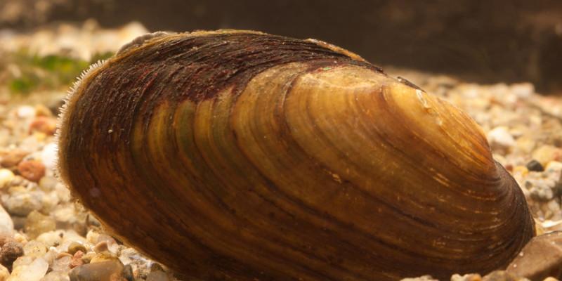 Großaufnahme einer braunen Muschel mit gelben Ringen.