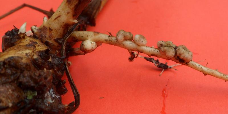 Große Pflanzenwurzel mit kleinen Knubbeln