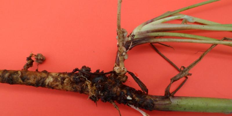 Großaufnahme einer Plflanzenwurzeln mit kleinen Knubbeln vor einem roten Hintergrund