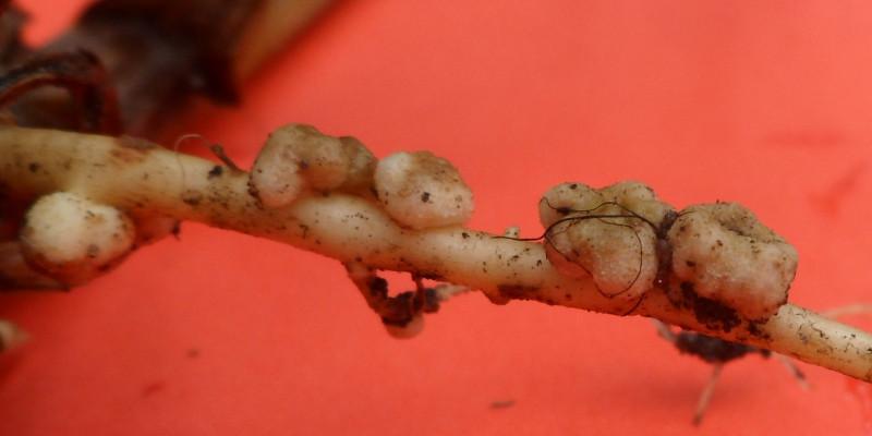 Großaufnahme der Knubbel auf einer Pflanzenwurzel, die die Symbiose zwischen Wurzel und Mikroorganismen zeigt