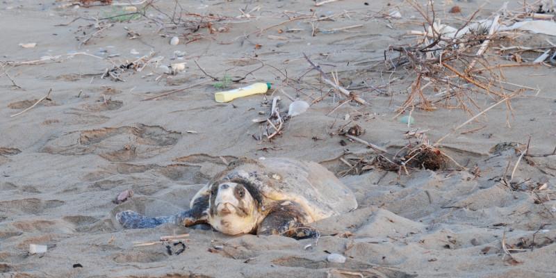 Eine Schlidkröte liegt an einem Strand, der mit Plastik und Müll bedeckt ist
