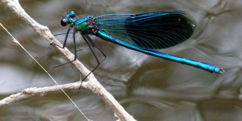 Nahaufnahme einer großen blau schimmernden Libelle
