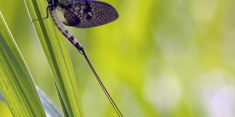 Größaufnahme einer Eintagsfliege, die auf einem grünem Halm sitzt. Die Fliege ist leicht schwarz-weiß gestreift und hat am hinteren Ende zwei lange Stacheln