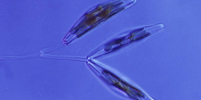 Mikroskopaufnahme einer Kieselalge mit den zwei Kalkschalen