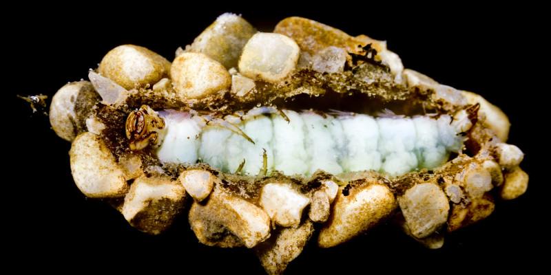 Die Puppe einer Köcherfliegenlarve, die mit kleinen Steinchen beklebt ist