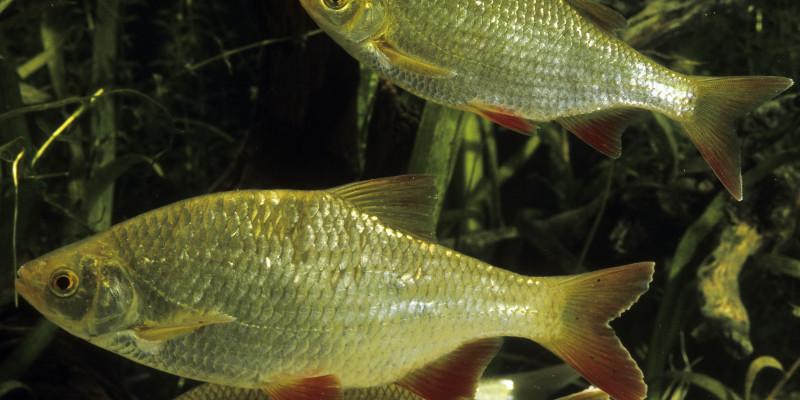 Drei weiße Fische deren Schwanz- und Seitenflossen rot gefärbt sind