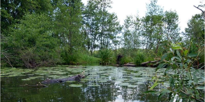 Blick auf die glatte Oberfläche der Spree mit Seerosenblättern und Bäumen am anderen Ufer