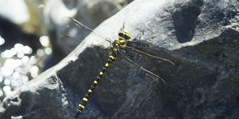 eine Libelle, die auf einem grauen Stein sitzt
