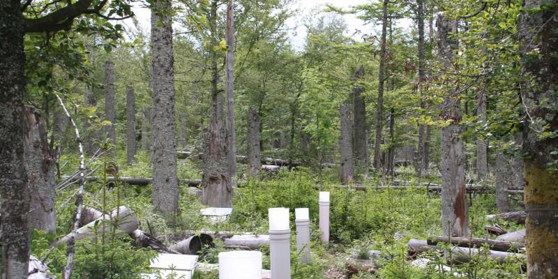 Forellenbach_Spruce F1 regeneration after bark beetle infestation