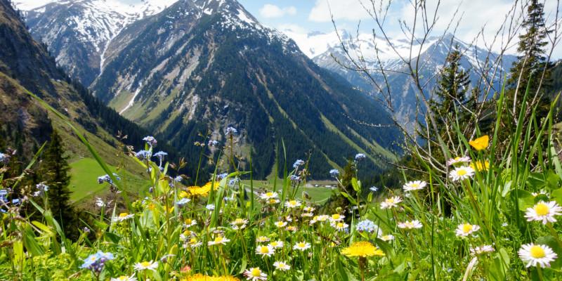 Vorne ist eine Blumenwiese mit Löwenzahn zu sehen, im Hintergrund schneebedeckte Berggipfel.