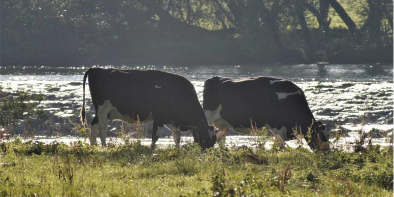Kühe weiden vor einem Fluss.