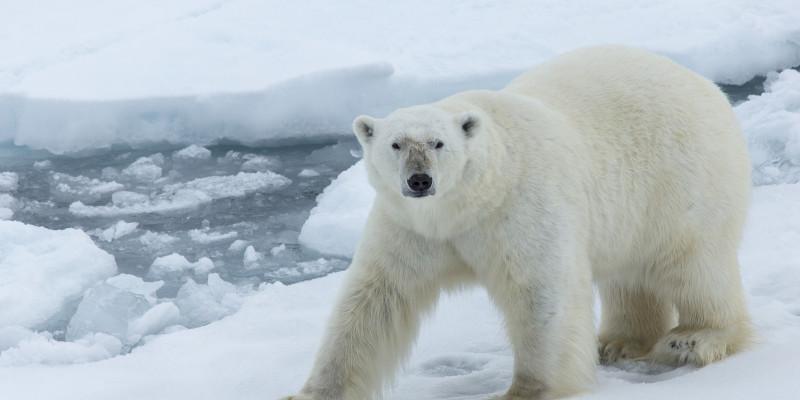 Ein Eisbär