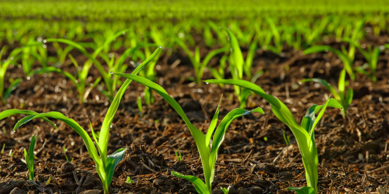 Junge Maispflanzen auf einem Feld.