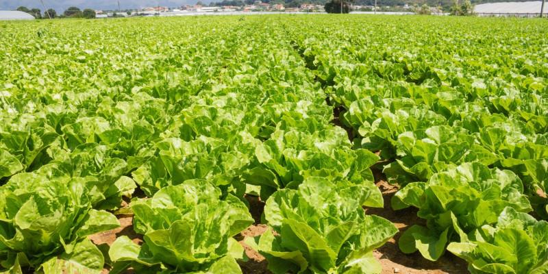 Ein Salatfeld