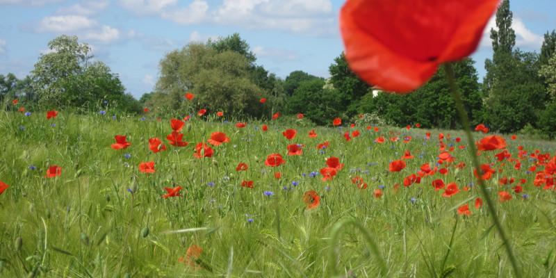 Rote Wildblumen auf einem Getreideacker