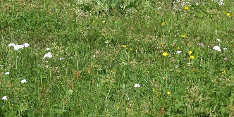 Artenreiche Wiesen gehen durch überhöhte Stickstoffeinträge verloren