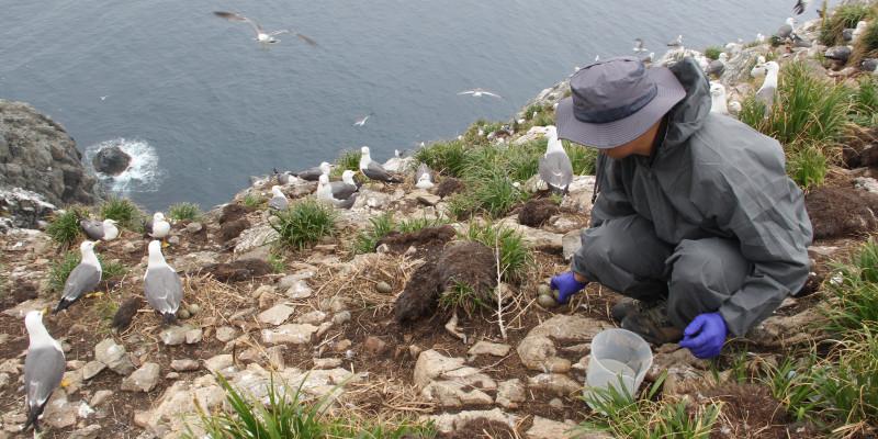 Sampling eggs of Black-tailed Gull in Korea