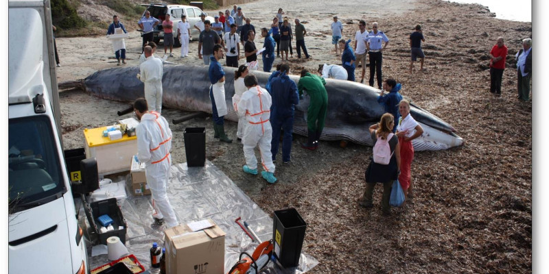 Stranding of a whale in Italy