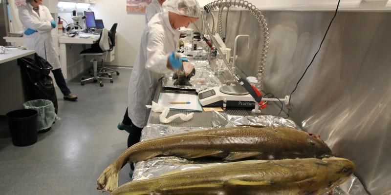 Dissecting fish at the Norwegian Environmental Specimen Bank