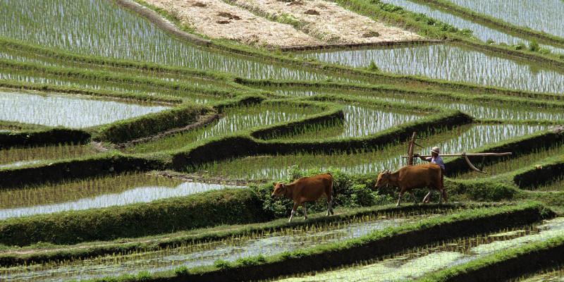 Mehrere grüne Abschnitte bewässerter Reisfelder.