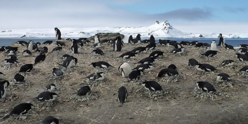 The retreat of the Antarctic sea ice is also a threat to chinstrap penguins