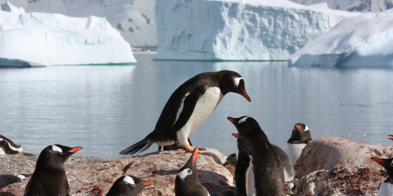 Gentoo penguins thrive especially well along the Antarctic Peninsula.