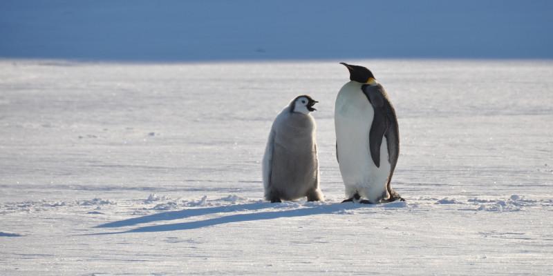 Eine erwachsener Kaiserpinguin liegt seitlich zur Kamera auf dem Bauch auf dem Eis. Rechts neben ihm steht sein Junges.