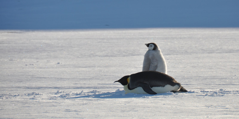 Ein erwachsener Kaiserpinguin und sein Junges stehen neben einander auf dem Eis.