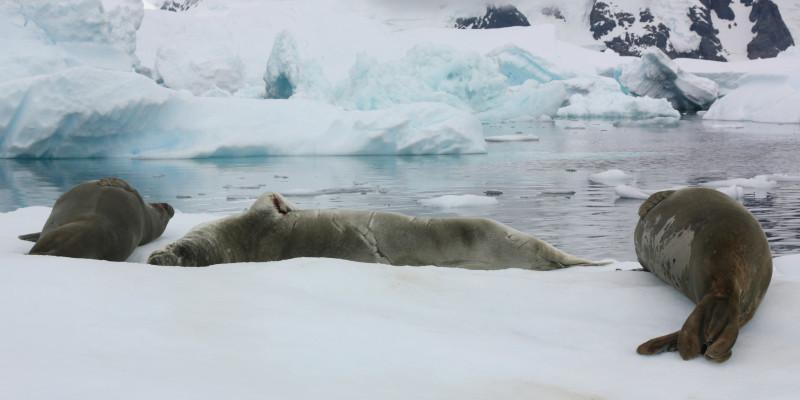 Am Rand des antarktischen Eis liegen drei Robben. Vor ihnen scheint eine Bucht zu sein. Gegenüber erheben sich große Eisformationen und Berge.