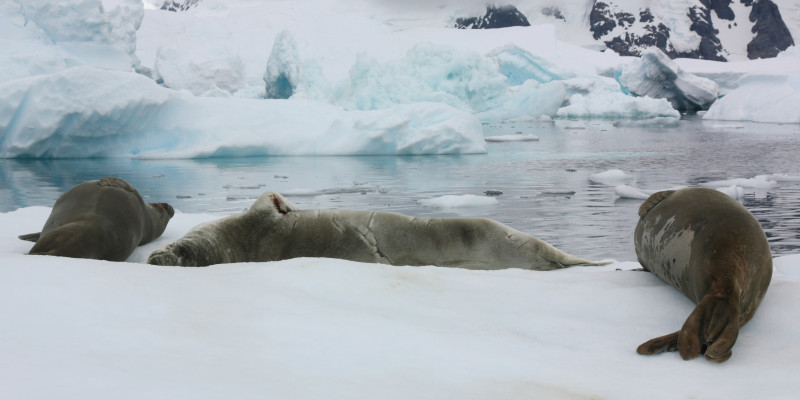 A bountiful supply of food guarantees a large population of seals in the Antarctic.