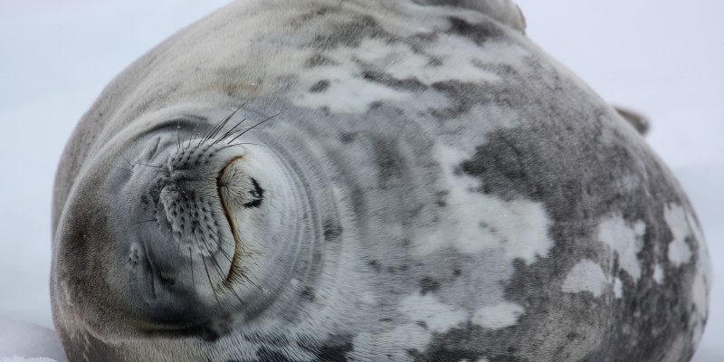 Eine Robbe liegt auf der Seite auf dem Eis. Sie hat die Augen geschlossen. Es wirkt als würde sie im Schlaf lächeln. Ihr Fell ist grau-weiß und wirkt weich.