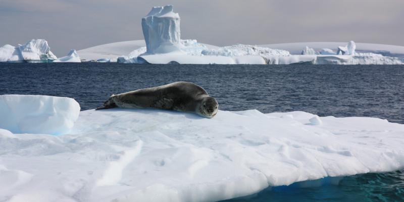 Ein Seeleopard liegt auf dem Bauch auf einer Eisscholle. Im Hintergrund sind Eisberge und am Horizont antarktisches Festland.
