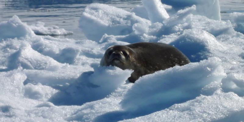 Eine graue Weddelrobbe liegt auf einer Eisscholle und schaut direkt in die Kamera.