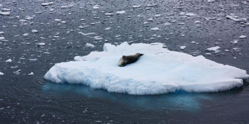 Eine Robbe, genauer ein Seeleopard liegt auf dem Rücken auf einer Eisscholle.