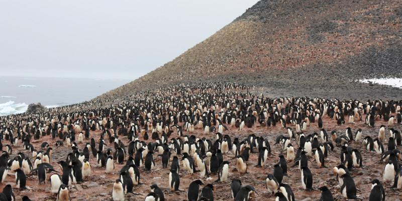 Auf einem felsigen Küstenabschnitt befindet sich eine Kolonie von Adeliepinguinen. Hunderte Tiere haben sich dort versammelt.