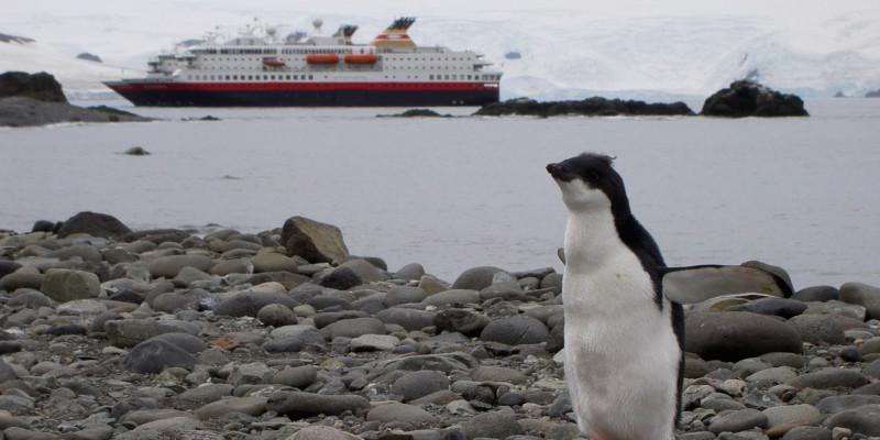 Im Vordergrund steht ein junger Pinguin auf steinigem Boden. Er breitet seine Flügel aus. Im Hintergrund fährt ein Kreuzfahrtschiff auf dem antarktischen Meer vorüber.