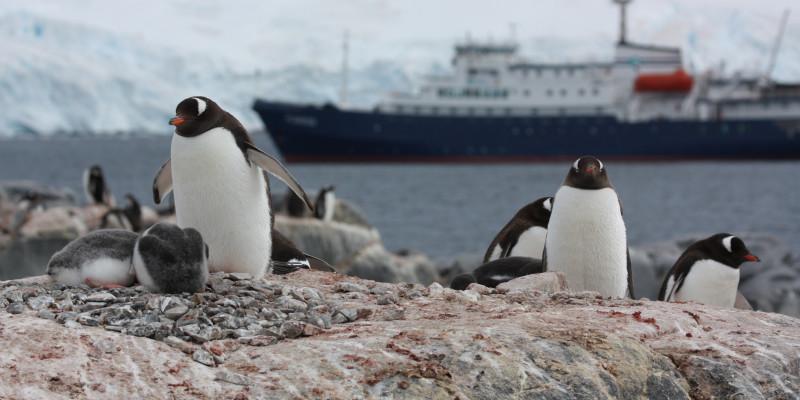 Im Vordergrund sieht man ausgewachsene Pinguine mit ihren Jungen. Im Hintergrund fährt ein Kreuzfahrtschiff vorbei.
