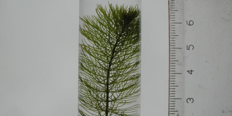 In einem mit Wasser gefüllten Testgefäß aus Glas befindet sich ein grüner Spross des ährigen Tausendblattes. Neben dem Gefäß steht aufrecht ein Lineal.