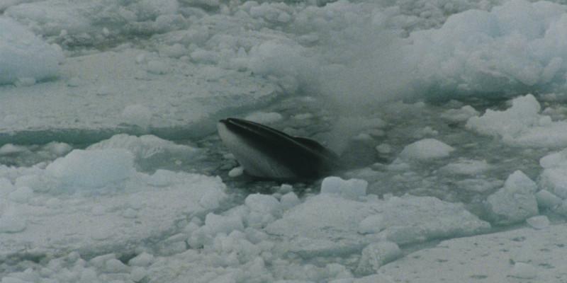 Ein Minkwal/Zwergwal taucht zwischen Eisschollen auf und stößt Blas, also Atmluft aus.