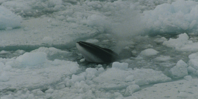 The minke whale feeds on krill under the ice in the Antarctic.
