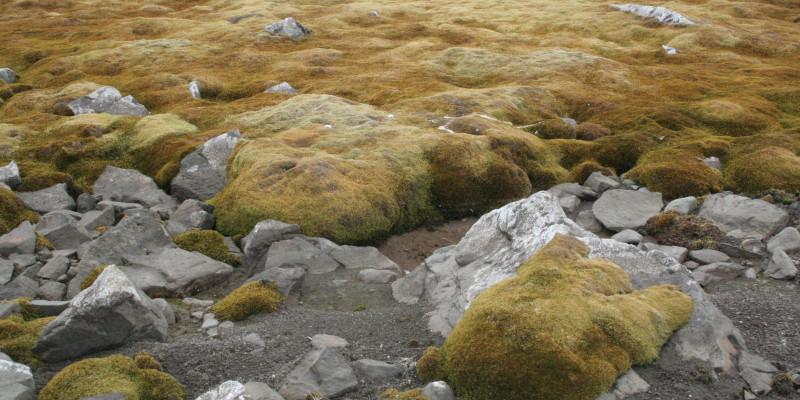 Ein grün-braunes, großflächiges Moospolster wächst auf steinigem Untergrund.